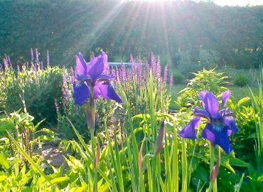 A sunlit garden with iris flowers in the foreground